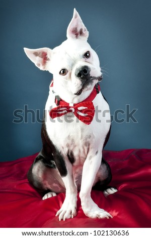 Boston Terrier wearing bow tie posing for picture - stock photo