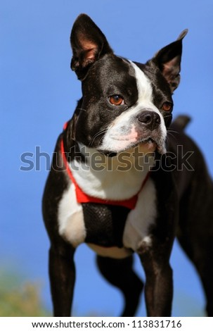 Boston terrier with blue sky background - stock photo
