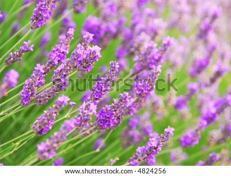 Botanical background of blooming purple lavender herb