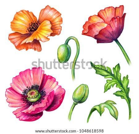 Botanical watercolor illustration colorful poppies collection stock botanical watercolor illustration colorful poppies collection bouquet arrangement design elements rustic poppy mightylinksfo