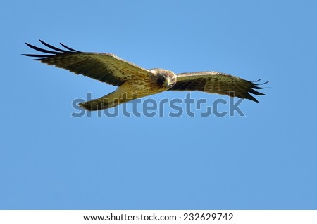 boted eagle flying (aquila pennata) - stock photo