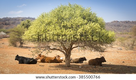 Botswana beef cattle resting under a tree in rural Botswana, Africa - stock photo