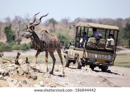 BOTSWANA - OCTOBER 6 2013: Kudu walks across road behind safari vehicle in a year of drought at Savuti Camp Site in Chobe National Park, Botswana - stock photo