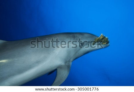 BOTTLE NOSE DOLPHIN SWIMMING FAST AND PLAY WITH SPONGE - stock photo