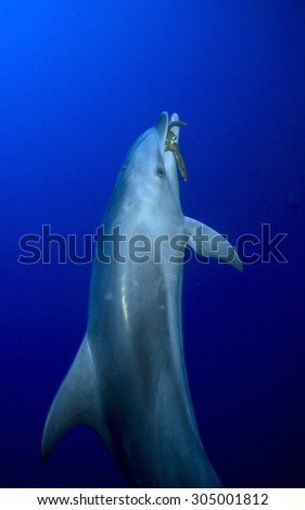 BOTTLE NOSE DOLPHIN SWIMMING ON BLUE CLEAR WATER - stock photo