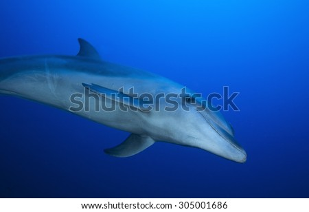 BOTTLE NOSE DOLPHIN SWIMMING ON CLEAR BLUE WATER - stock photo