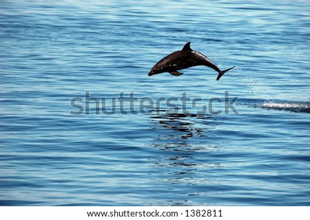 bottle nose porpoise in mid air arc of leap out of the water - stock photo
