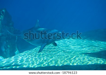 Bottle-Nosed dolphin swimming - stock photo