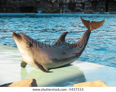 Bottle-nosed dolphin Tursiops truncatus in the water park - stock photo