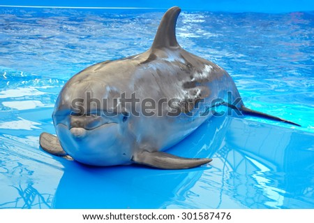 bottlenose dolphin in blue pool water - stock photo