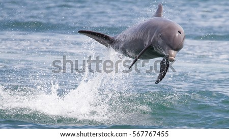Bottlenose Dolphin jumping in Dolphin Bay, Panama