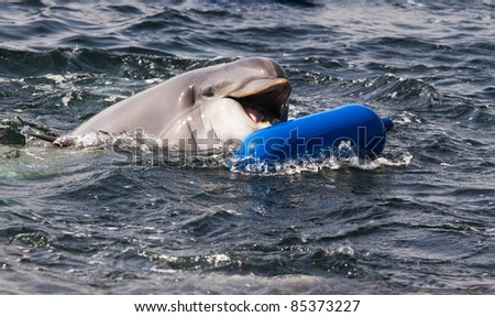 Bottlenose dolphin or Tursiops truncatus playing in the water - stock photo