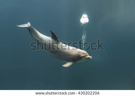 Bottlenose dolphin, tursiops truncatus, blowing bubbles while swimming