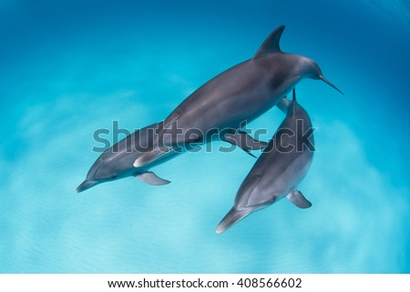 Bottlenose dolphins playing around in clear blue water.