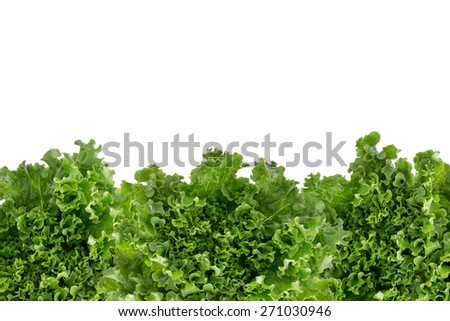 Bottom border of crisp fresh frilly leafy green lettuce for a salad ingredient or garnish isolated on white with copyspace - stock photo