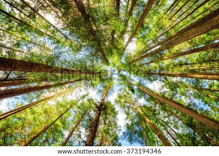 Bottom view of tall old trees in evergreen primeval forest of Jiuzhaigou nature reserve (Jiuzhai Valley National Park), Sichuan province, China. Blue sky in background. - stock photo