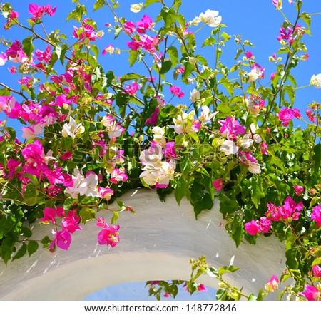 Bougainvilla, flower - stock photo