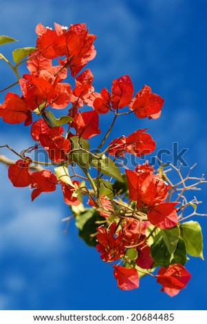 Bougainvillea blooms from Malawi with blue sky background - stock photo