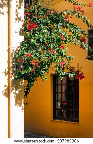 Bougainvillea flower on the wall. Greece. Nafplion (Nafplio). Old city.