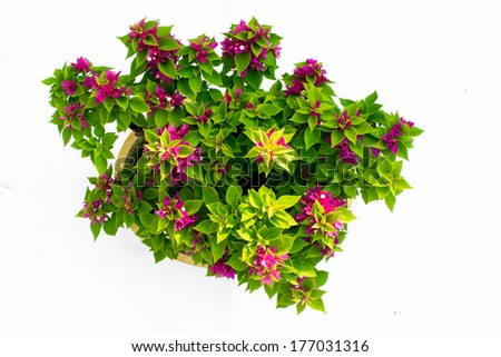 bougainvillea, flowering bonsai scarlet. - stock photo