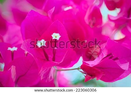 Bougainvillea Flowers Close Up, Pretty FlowersBougainvillea - stock photo