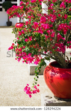 Bougainvillea flowers in a patio. Bright pink flowers. Sunny day. - stock photo
