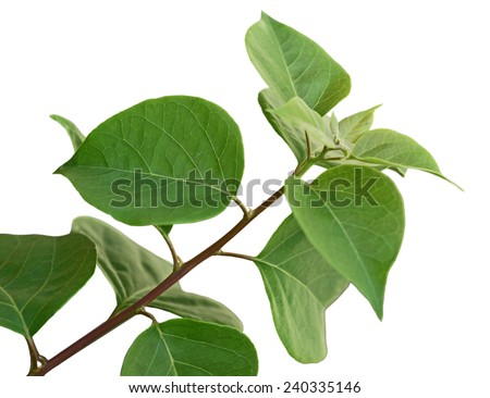 Bougainvillea Glabra Leaf on branch isolated on white background - stock photo