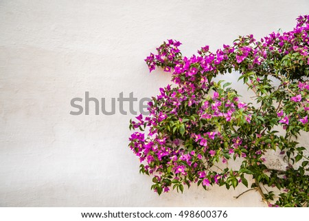 bougainvillea glabra on white wall in Italy
