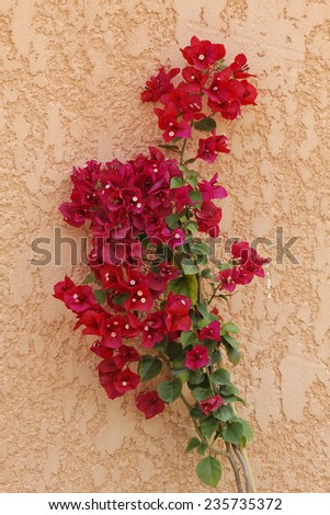 Bougainvillea glabra, Paper flower, Lesser Bougainvillea from Corsica, France, Europe - stock photo