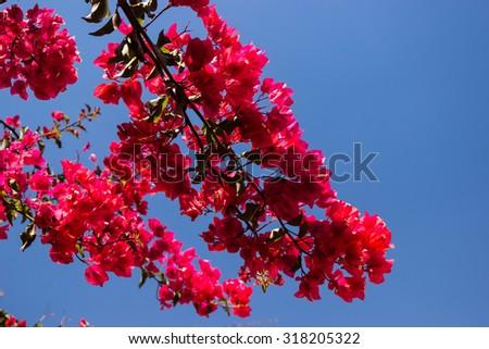 Bougainvillea on a blue sky - stock photo
