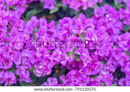 Bougainvillea paper flower bougainvillea glabra choisy stock photo bougainvillea or paper flower bougainvillea glabra choisy purple is a flower with some green leaves as mightylinksfo