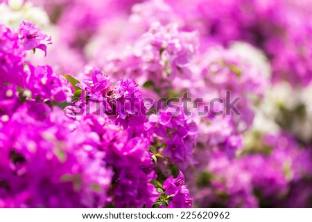 bougainvillea (soft focus)