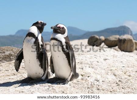 Boulders Penguins Cape Town - stock photo