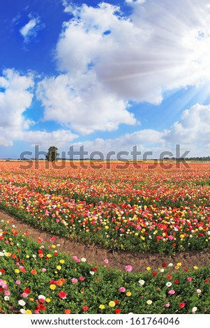 Boundless kibbutz field sown with flowers. The magnificent garden buttercups in Israel - stock photo