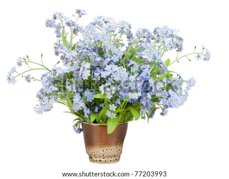 """Bouquet from spring blue """"Forget-me-nots"""" (Myosotis) flowers  in a small clay glass isolated on white - stock photo"""