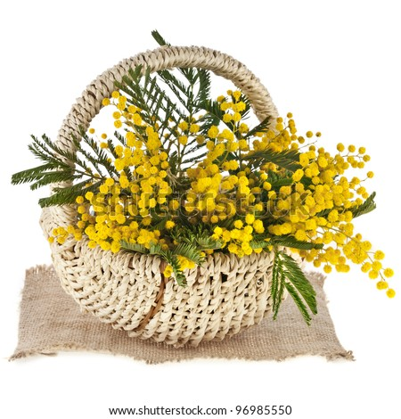 bouquet mimosa acacia flowers in a basket, on white