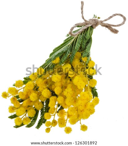 bouquet mimosa acacia flowers isilated on white background - stock photo