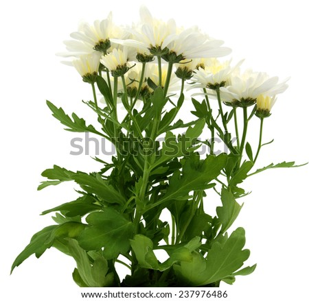 Bouquet of beautiful chrysanthemums isolated on white background - stock photo