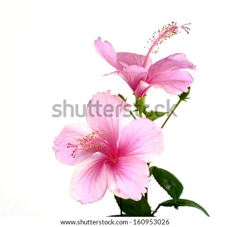 Bouquet of Beautiful Pink Hibiscus Flowers - stock photo