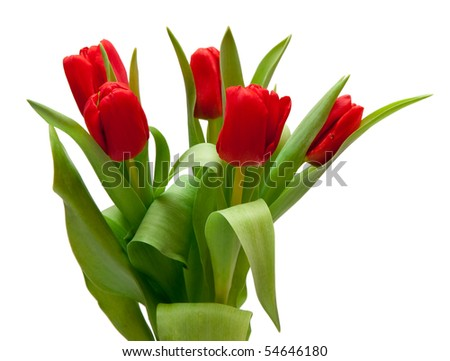 bouquet of  beautiful red tulips - stock photo