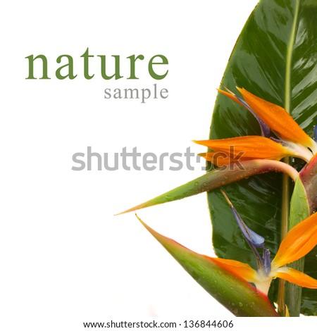 bouquet of bird of paradise flowers (Strelitzia) isolated on white bacground - stock photo