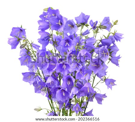Bouquet of blooming forest bellflowers or Campanula rotundifolia isolated on a white background - stock photo