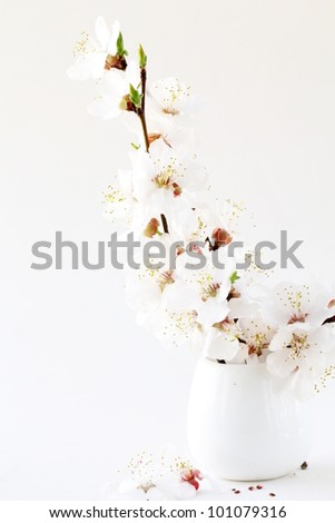 bouquet of  blossoms sakura  , branch of cherry