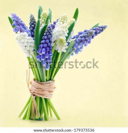 Bouquet of blue and white grape hyacinth spring flowers on yellow easter background - stock photo