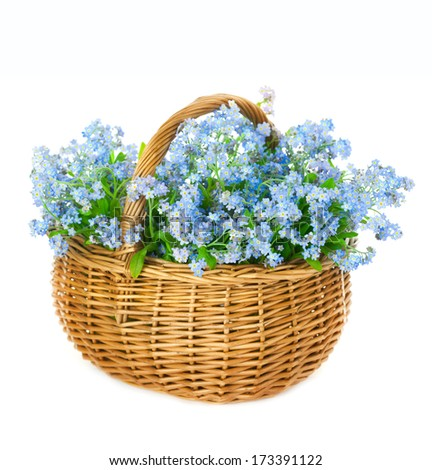 Bouquet of blue spring flowers in basket on white background / Forget-me-not flowers - stock photo