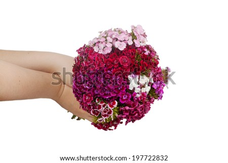 bouquet of carnations Turkish in female hands isolated on white background