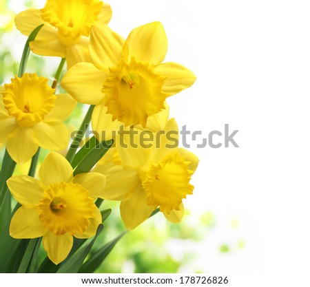 Bouquet of daffodil flower on white background - stock photo