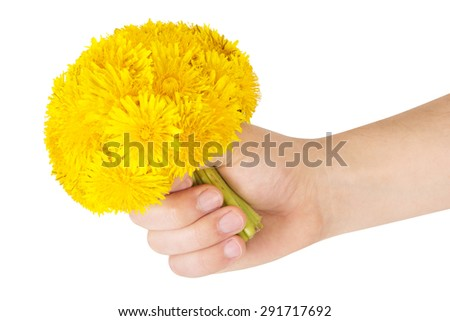 Bouquet of dandelions in the hand isolated on white background. - stock photo