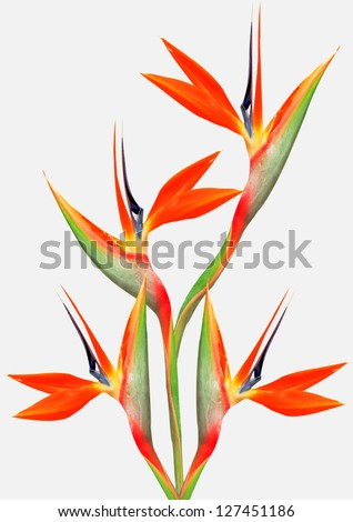 bouquet of flowers bird of paradise on a white background - stock photo