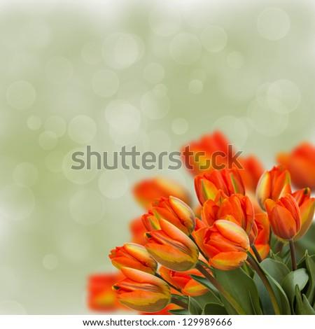 bouquet of fresh orange tulips  on green background - stock photo